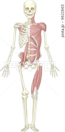骨格と筋肉-前方