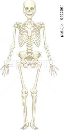 骨格-前方