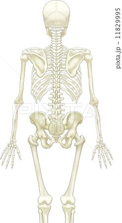 骨格-後方
